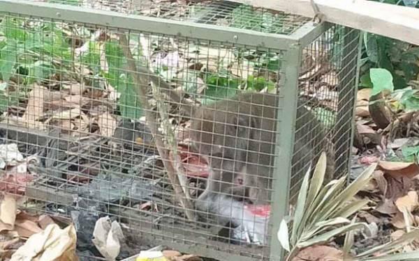 Monyet yang Menyerang Bocah di Bogor Masuk Jebakan - JPNN.com