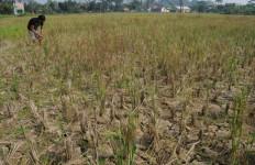 Tenang, Stok Pangan Masih Melimpah Meski Ratusan Hektare Tanaman Padi Gagal Panen - JPNN.com