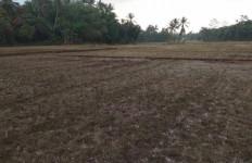 Dinas Pertanian Lebak: 454 Hektare Lahan Persawahan Gagal Panen - JPNN.com