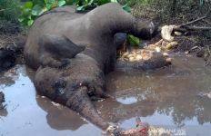 Gajah Sumatera Ditemukan Mati, Kaki Kirinya Buntung - JPNN.com