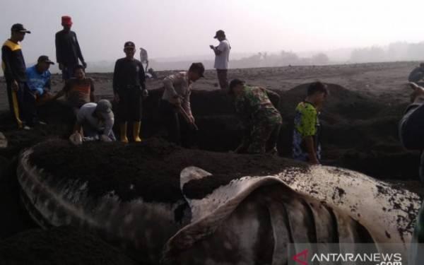 Hiu Paus Tutul Ditemukan Mati di Perairan Wanasalam Lebak - JPNN.com