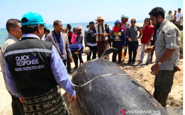 Tujuh Ikan Paus Terdampar di Pulau Sabu, Kondisinya Mengenaskan - JPNN.com