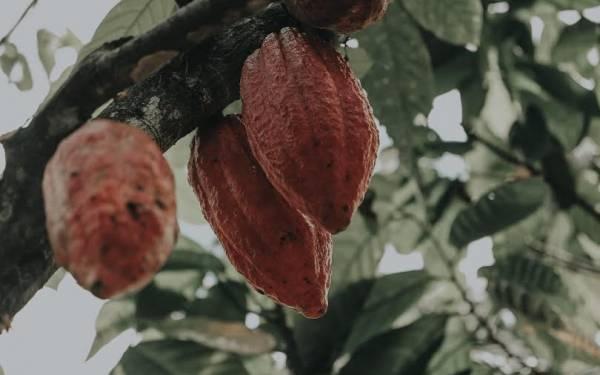 Kementan Catat Kinerja Eksportasi Kakao Olahan Jabar Naik 17,6 persen - JPNN.com