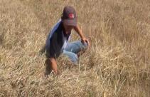 Musim Kemarau, 220 Hektar Sawah Gagal Panen - JPNN.com