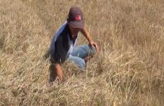 Musim Kemarau, Petani Gagal Panen di 220 Hektar Sawah - JPNN.com
