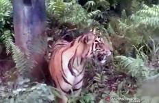Hiii, Harimau Sumatera Berkeliaran - JPNN.com