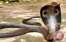 Rendy yang Meninggal Setelah Dipatuk King Kobra Itu Ternyata Anak Yatim Piatu - JPNN.com