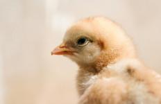Siswa SD-SMP, Siap-siap Bermain dengan Anak Ayam - JPNN.com