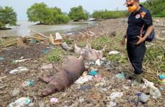 Bangkai Babi Berserakan di Pantai Tagaule Nias - JPNN.com