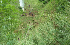 Ladang Ganja Seluas Tujuh Hektare Ditemukan di Madina - JPNN.com