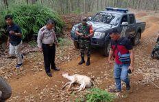 Warga Pusing Ternak Sapi Sering Hilang, Pelakunya Ternyata Harimau - JPNN.com