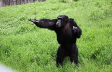 Lihat Nih, di Tiongkok Ada Simpanse Bisa Mencuci Kaus - JPNN.com