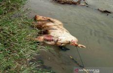Bangkai Babi Mengapung di Aliran Sungai Padang, Warga Tebing Tinggi Resah - JPNN.com