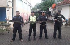 Tegang, Ular Sanca Sepanjang 4 Meter Masuk Perumahan - JPNN.com