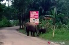 Dua Gajah Sumatera Liar Berkeliaran dekat Kantor Polisi - JPNN.com