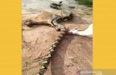Ular Piton Raksasa Ini Mangsa Tiga Ekor Kambing Sekaligus, nih Lihat Fotonya - JPNN.com