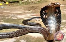 Waspada, Puluhan Ular Kobra Berkeliaran di Rumah Warga - JPNN.com