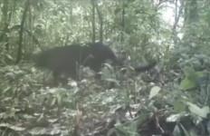 Penampakan Macan Kumbang di Hutan Petungkriyono Pekalongan - JPNN.com