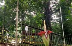 Indahnya, Bunga Bangkai Kembali Mekar di Kebun Raya Bogor - JPNN.com