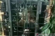 Waspada, Harimau yang Menewaskan Lima Warga Itu Belum Tertangkap - JPNN.com