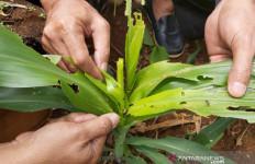 Ratusan Hektare Tanaman Jagung Diserang Hama, Kerugian Rp 2,3 Miliar - JPNN.com