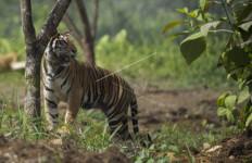 Harimau Sumatera Serang Petani di Muara Enim - JPNN.com