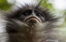 Monyet Surili Masih Berkeliaran, BKSDA Pasang Perangkap - JPNN.com