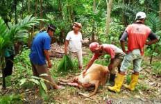 Ada Jejak Kaki Harimau di Dekat Sapi Mati Penuh Luka Robek, Warga Agam Resah - JPNN.com