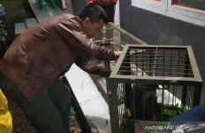 Monyet Langka Ini Akhirnya Tertangkap - JPNN.com