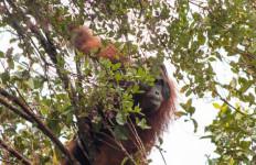 Orang Utan Berhasil Diselamatkan dari Ganasnya Penambangan Ilegal-Pembalakan Hutan - JPNN.com