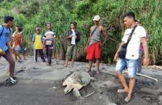 Dua Penyu Hijau Diselamatkan Nelayan - JPNN.com