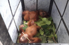 KLHK Tetapkan Tersangka Kasus Perdagangan Orang Utan di Langkat - JPNN.com