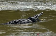 Sayembara Terjun ke Sungai Copot Ban di Tubuh Buaya tak Ada Peminat, Datangkan Ahli dari Australia - JPNN.com