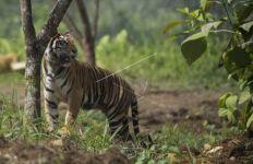Harimau Sumatera Teror Pekerja Proyek Tol Pekanbaru-Dumai - JPNN.com