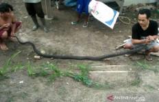 Ade Nugraha Tangkap King Kobra 3 Meter Belajar dari YouTube - JPNN.com