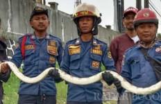 Satu Jam Petugas Damkar Berjibaku Menangkap Piton, Lihat Fotonya - JPNN.com