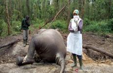 BBKSDA Riau Berhasil Ungkap Penyebab Kematian Gajah di Bengkalis - JPNN.com