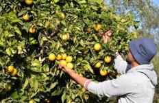 Kebijakan Baru Israel Bikin Petani Palestina Tekor Rp 1,3 Triliun - JPNN.com