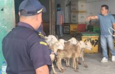 Bea Cukai Teluk Nibung Fasilitasi Eksportir Kirim 170 Ekor Domba ke Malaysia - JPNN.com