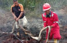 Ular Piton dan Selusin Telurnya Terpanggang dalam Kebakaran Hutan di Riau - JPNN.com