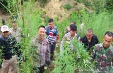 Delapan Hektare Tanaman Ganja di Perbukitan Desa Lancok Dimusnahkan Polisi - JPNN.com