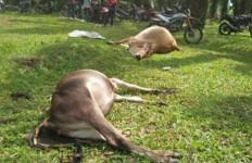 Belasan Ekor Sapi Mati Mendadak - JPNN.com