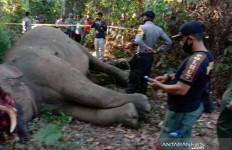 Seekor Gajah Sumatera Mati Dibunuh, Belalainya Dipotong - JPNN.com