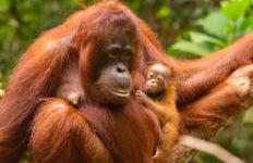 Susi Melahirkan Sinar dengan Selamat di Hutan TN Gunung Palung - JPNN.com