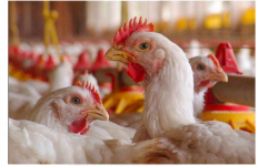 Hati-hati, Ternak Ayam dengan Kerangkeng Baterai bisa Berbahaya - JPNN.com