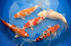 Virus Mengancam, Tiongkok Karantina 290 Ekor Ikan Koi dari Jepang - JPNN.com