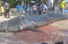 Hiu Tutul Terdampar di Pantai Aceh Timur, Lihat tuh Besar Sekali - JPNN.com