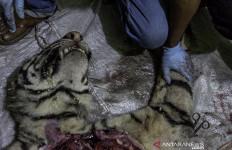 Harimau Sumatera Mati Dijerat Pemburu di Hutan Konsesi Riau - JPNN.com