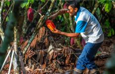 Cargill Ingin Memberi Perlindungan untuk Petani Kakao sekaligus Lingkungan - JPNN.com