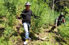 Empat Hektare Ladang Ganja yang Ditemukan di Mandailing Natal Dimusnahkan, nih Fotonya - JPNN.com